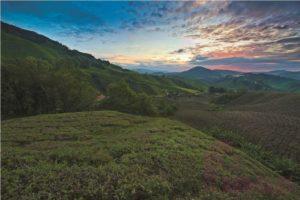 Sungai Palas Tea Plantation